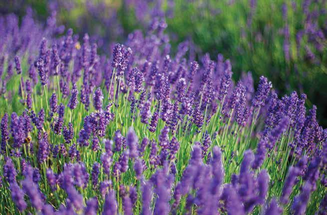 The Health Benefits Of Lavender Calabasas Style Magazine